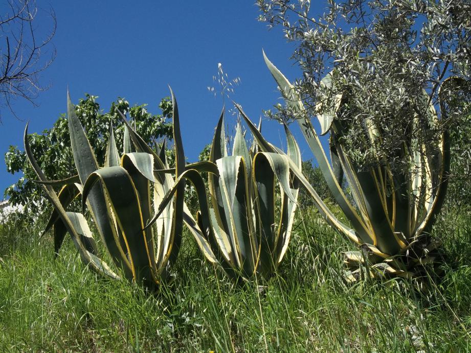 L'agave est une plante très piquante.