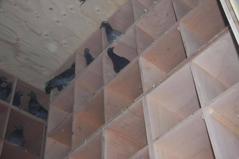 Conçu comme un dortoir, le pigeonnier comporte 150 cases dans lesquelles les pigeons pondent leurs œufs qui sont ensuite secoués.