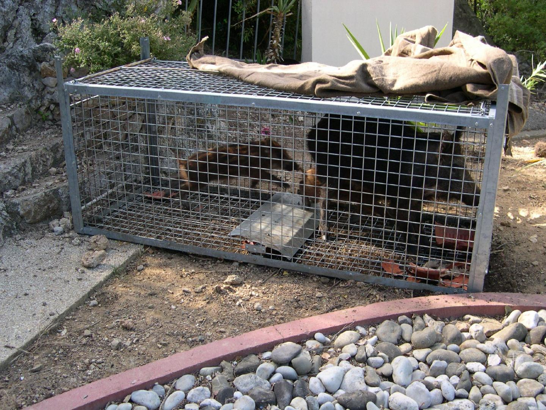 Deux sangliers capturés à l'aide d'une cage près du cimetière d'Eze.