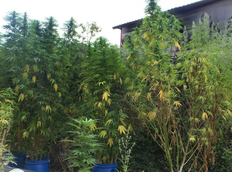 Des plants de cannabis, en octobre 2012 dans les Alpes-Maritimes.