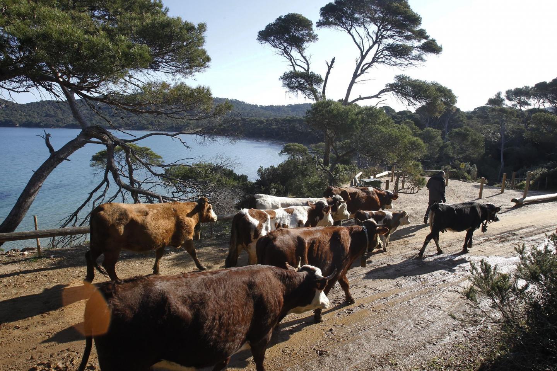 Onze vaches de Solliès-Pont ont fait le voyage jusqu'à Porquerolles lundi. Bilan de l'expérience dans deux mois.
