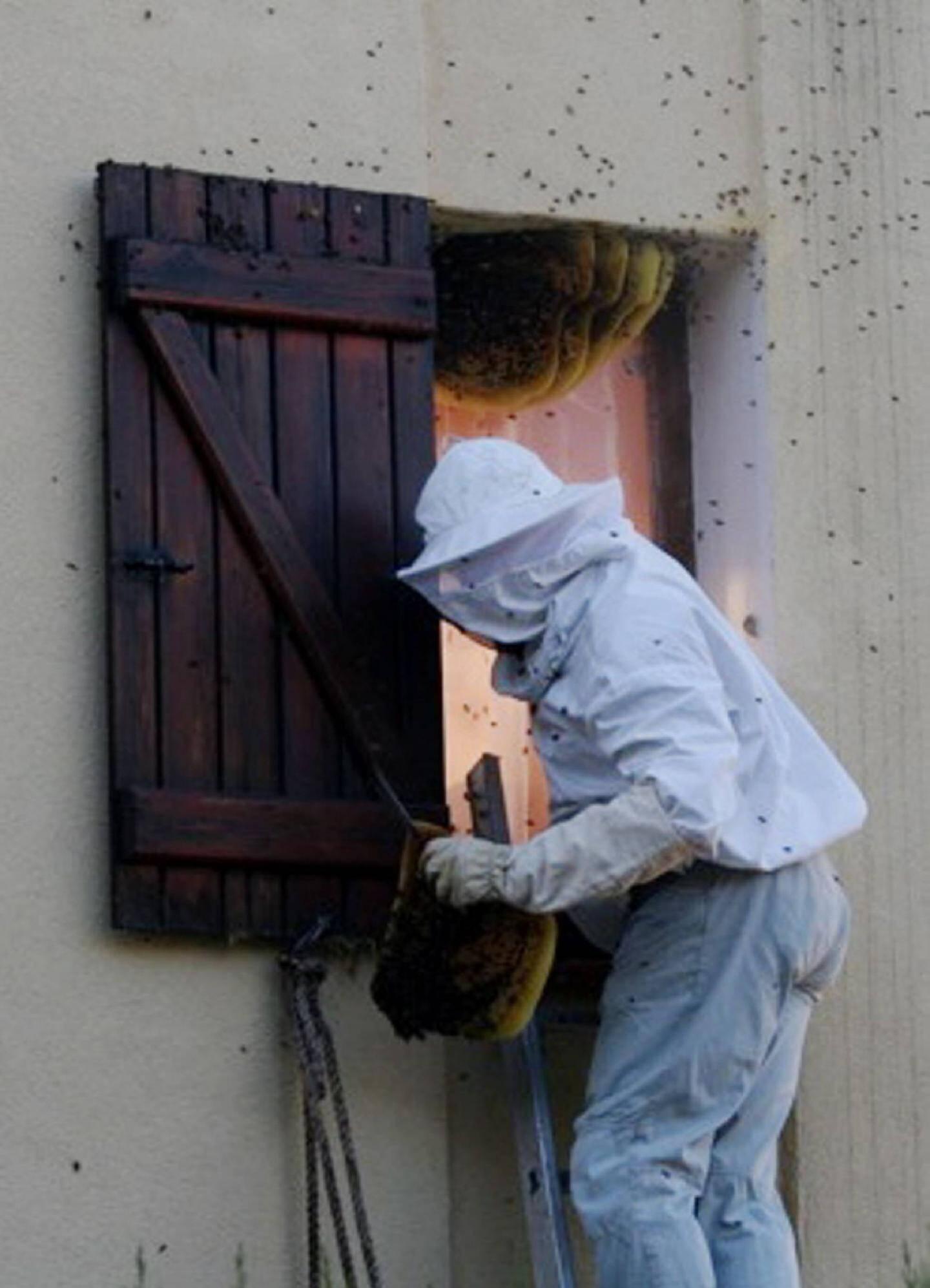 Ci-dessus : l'apiculteur a découpé un à un les «rayons» d'essaim avant de les mettre dans un récipient.