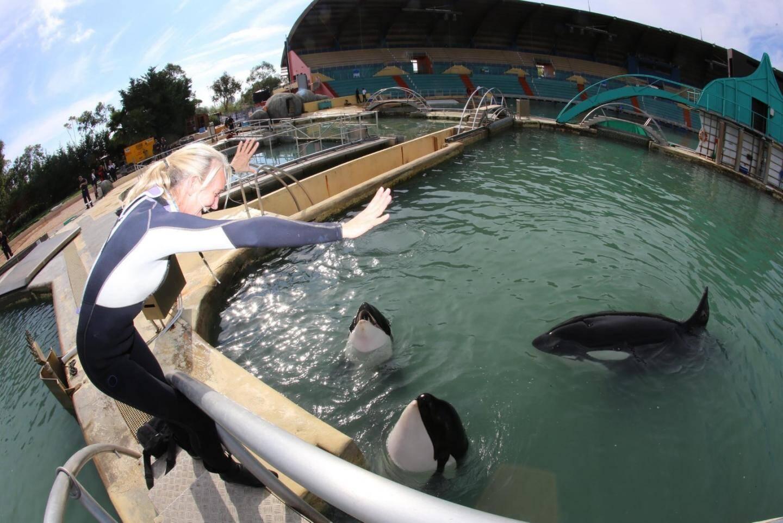 Les orques dans un bassin à Marineland