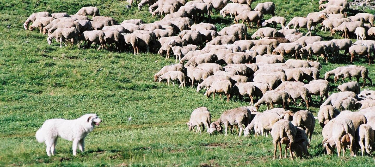 Un chien assure la protection d'un troupeau de moutons.