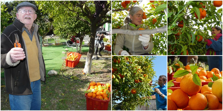 Jean, Sophie, Agnès et Jean-Marc s'empresse de ramasser les oranges amères.