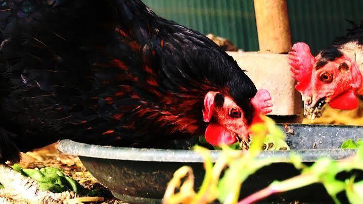 Omnivores, les poules mangent tout... enfin presque.