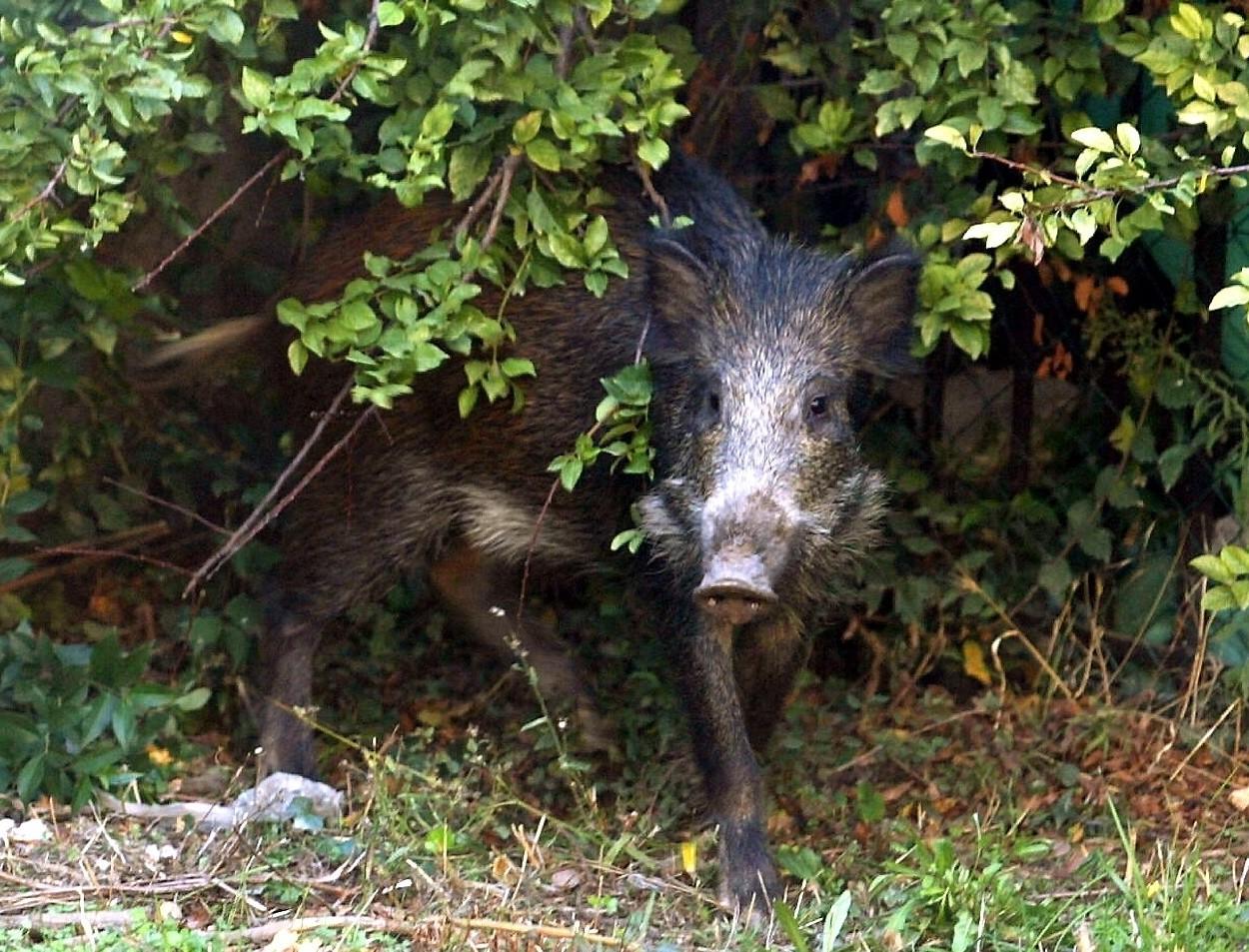 S'il a, depuis, rebouché les trous, Jean Colombaud a encore eu droit - son gazon et ses arbres fruitiers en portent les traces - à la visite des mammifères dans son jardin. Un voisinage dont il se serait bien passé...