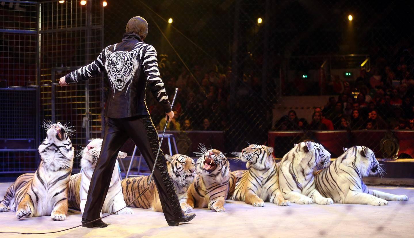 Les frères Zapashny, stars du cirque en Russie ont fait montre de leur talent de dresseurs avec une écurie de quatorze fauves sur la piste.