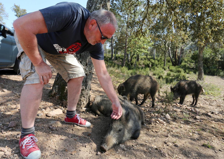 Au Gratadis à Agay, les sangliers n'ont plus peur des humains.