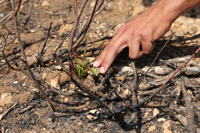 Moins d'un mois après le passage du feu, certains végétaux repartent de la base, comme ce pistachier térébinthe.