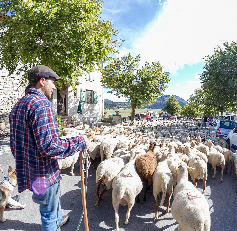 John et son troupeau dans la descente vers la plaine de Caille, lors de la foire agricole de septembre.