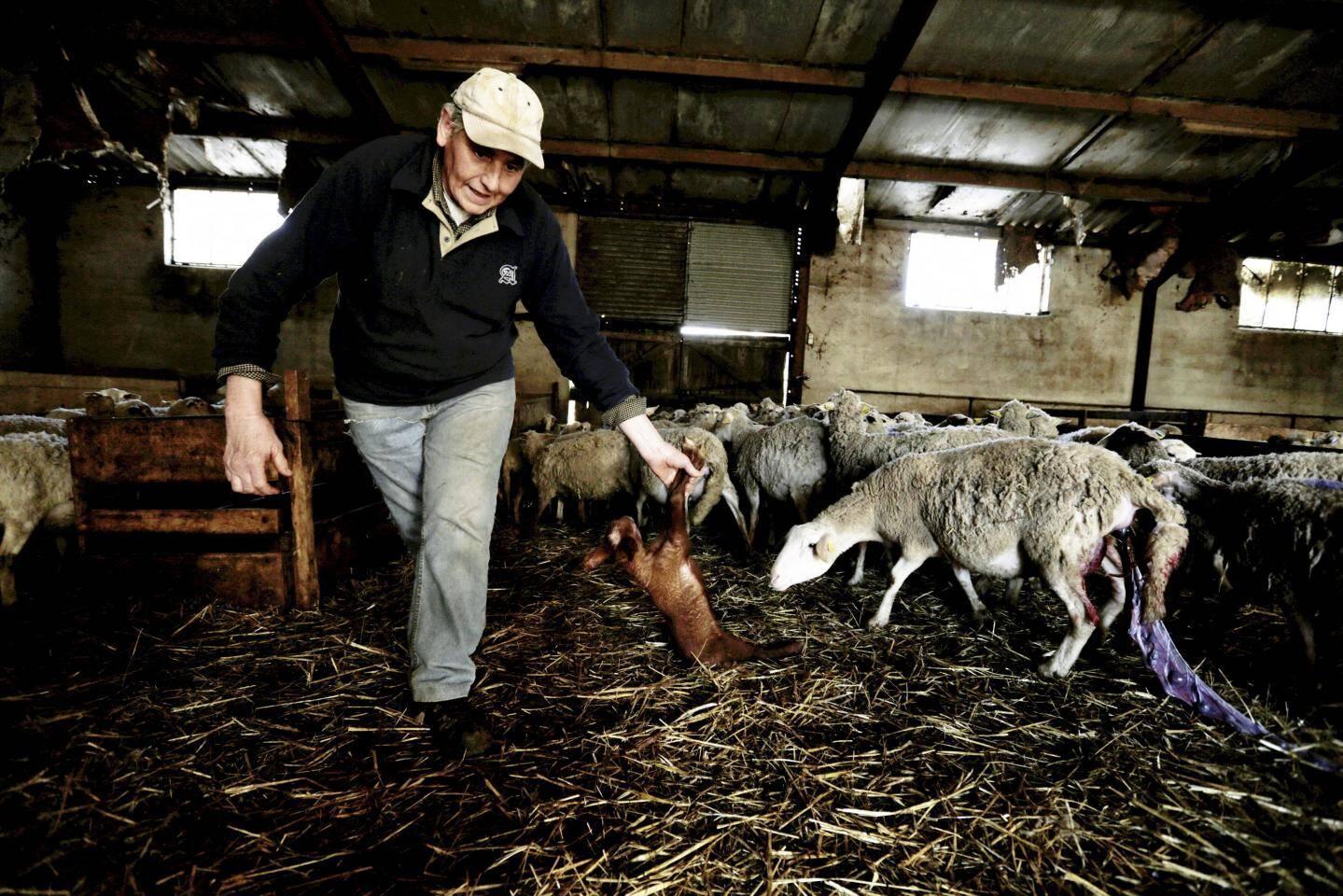 À 57 ans, Alain Serafino a élevé des brebis toute sa vie. Dans la ferme Saint Andrieux à Bauduen, il bichonne près de 300 bêtes. En pleine saison d'agnelage, les naissances se succèdent les unes après les autres.