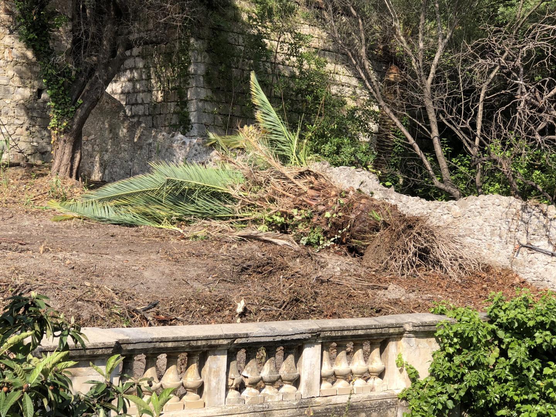 Ces mêmes palmiers arrachés et jetés dans un coin du terrain