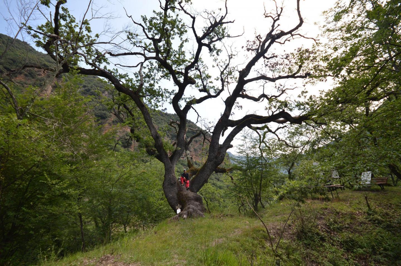 Assis sur le vénérable chêne géant âgé de huit cents ans, qui sort de terre comme une échine de dragon, Daniel Grasa semble être un Lilliputien.