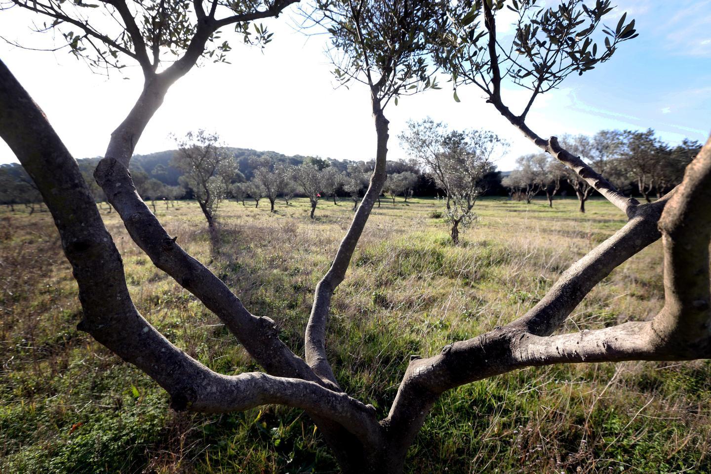 Situé à Porquerolles,le verger conservatoire du parc national de Port-Cros est à l'origine de la naissance duConservatoire méditerranéen partagé.