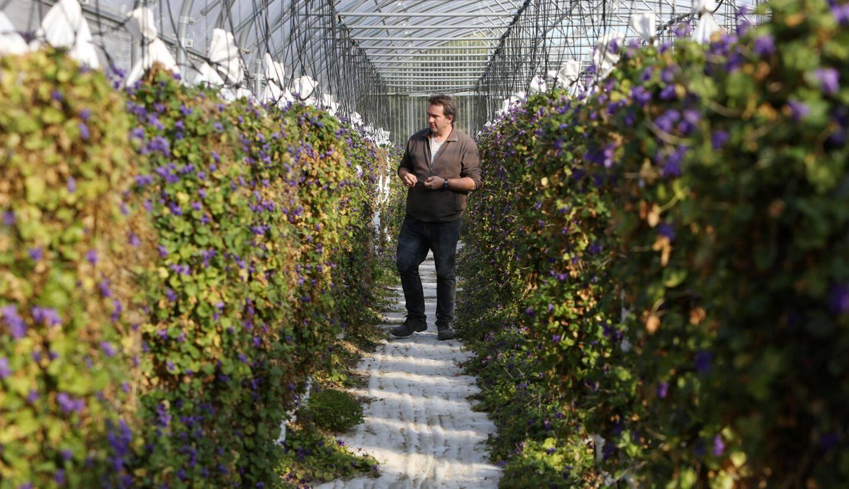 Jérôme Coche cultive la violette, mais aussi la rose, la verveine et la menthe en culture biologique raisonnée.