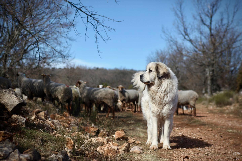 Yoko, l'un des 15 chiens de protection de Guillaume Fabre.