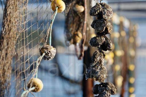 Les huîtres de Tamaris