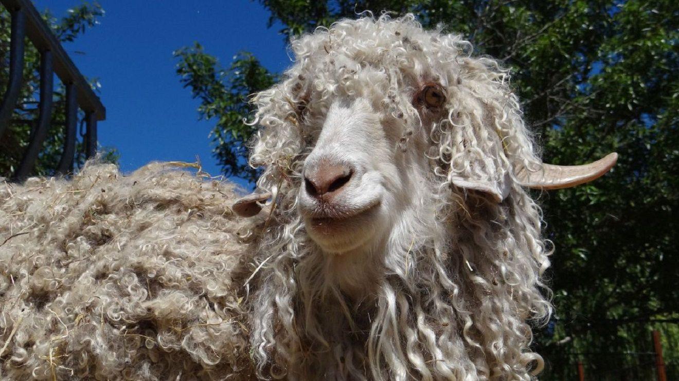 Une fête pour découvrir différentes espèces de chèvres.