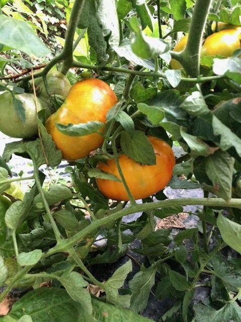 La tomate ananas