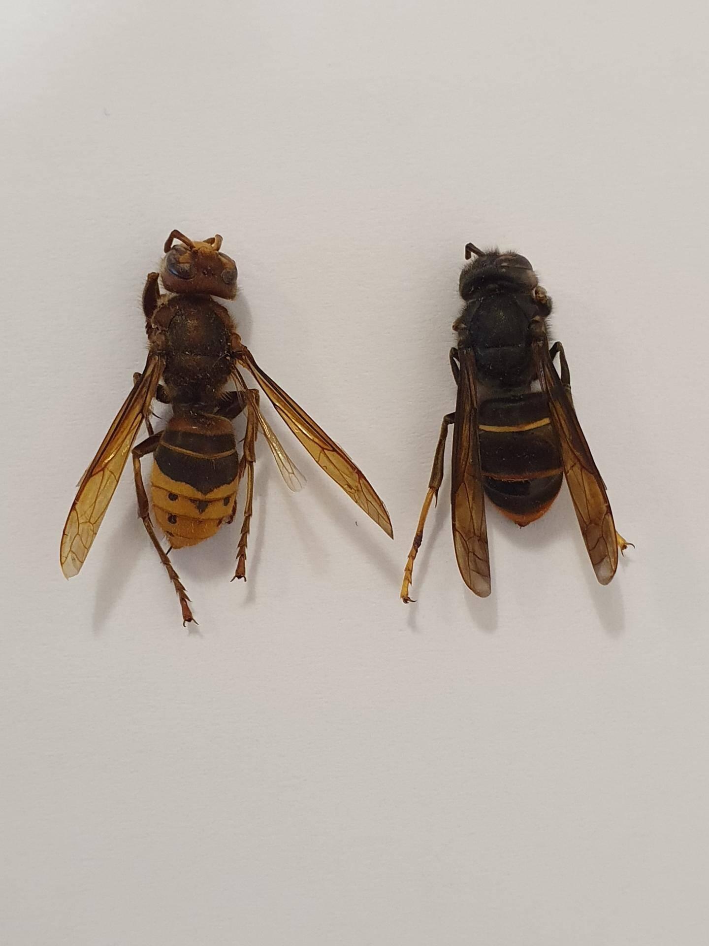 Un frelon européen (abdomen jaune) et un frelon asiatique (abdomen noir).
