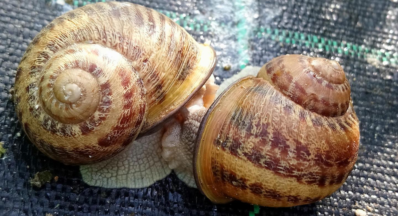 Les escargots gros-gris de la ferme de Nans.