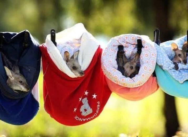 Les poches tricotées accueilleront les bébés kangourous orphelins. (Capture d'écran page Faceobbok du Parc australien à Carcassone)