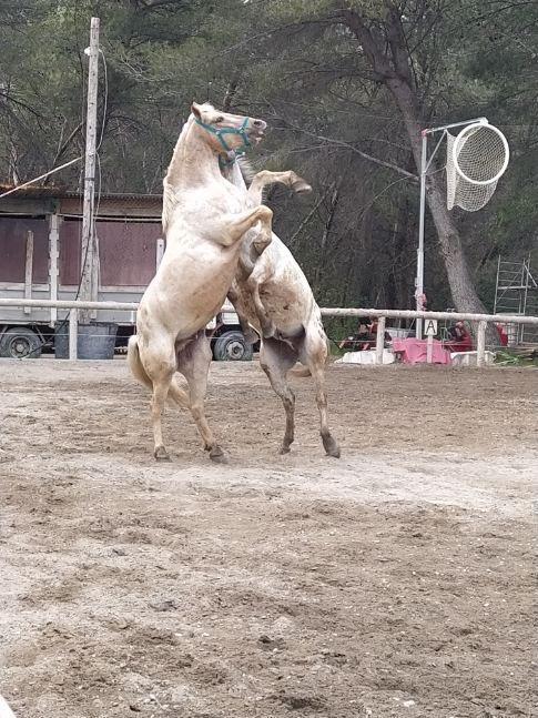 Les chevaux se défoulent dans la carrière.