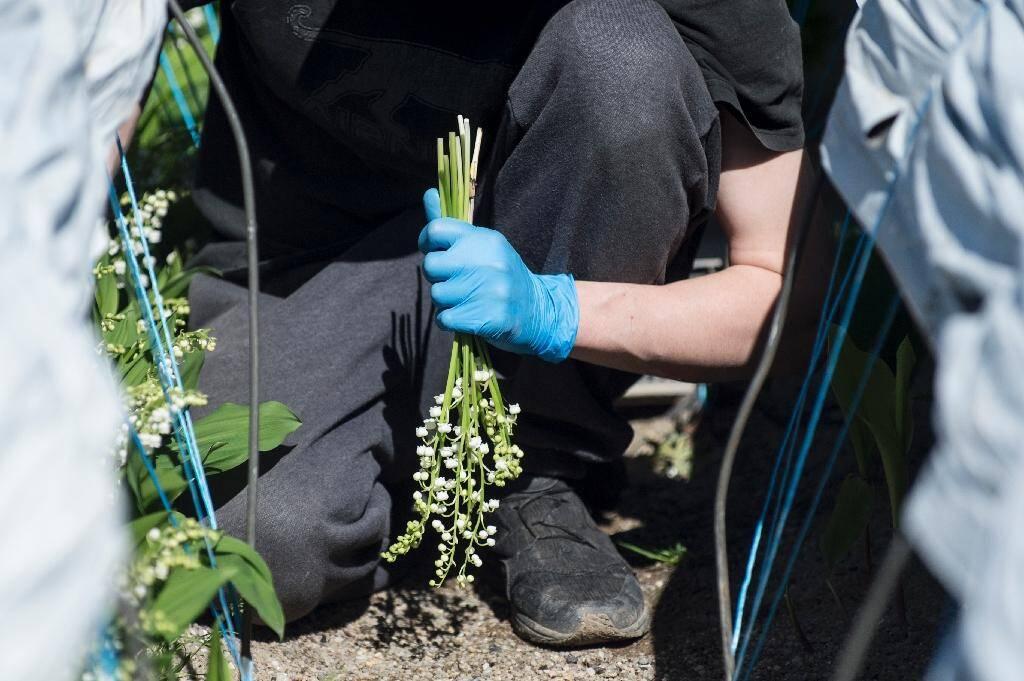 Un saisonnier lors d'une récolte de muguet à Saint Philbert-de-Grand-Lieu, près de Nantes, le 14 avril 2020