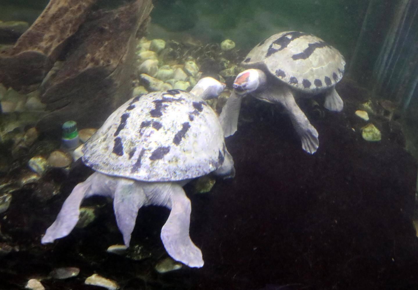 Les tortues, toutes espèces confondues, ont été choyées durant toute la période du confinement.
