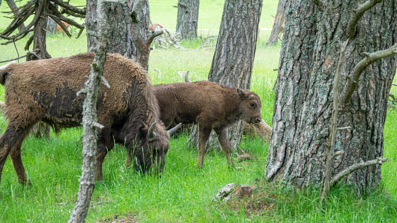 Le petit bison, après quelques jours d'isolement avec sa mère, intègre le groupe dont il dépend et fait la curiosité des bisons adolescents.