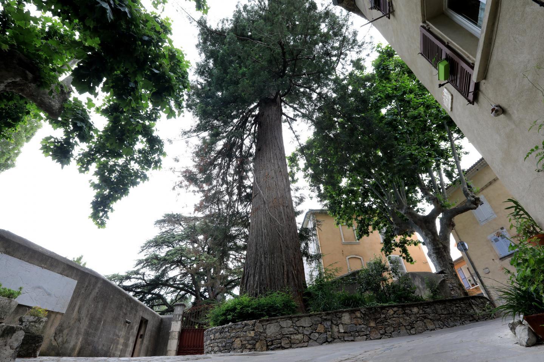 Un gigantesque séquoia wellingtonia d'une quarantaine de mètres de haut et de près de dix mètres de circonférence, qui a lui seul vaut la balade à Belgentier.