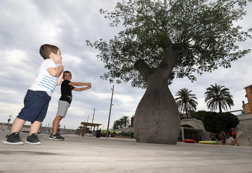 """Originaire d'Amérique du Sud, le Ceiba insignis est surnommé """"arbre bouteille""""."""