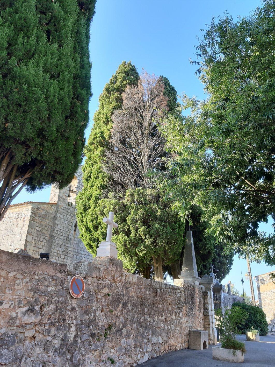 Les cyprès centenaires de N.D de Sardaigne se dessèchent par la cime.