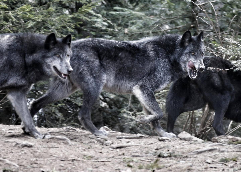 Des loups