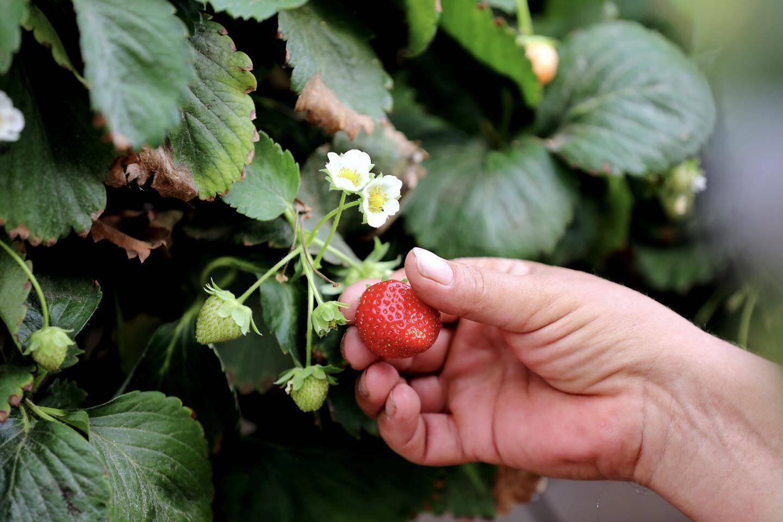 Les fraises cultivées à la Serre du Plan sont des charlottes.
