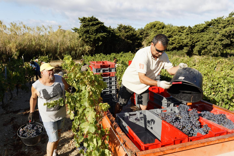 Entre coupeurs, porteurs et remorqueurs, une quinzaine de vendangeurs est mobilisée pour la cueillette du raisin aux Embiez.