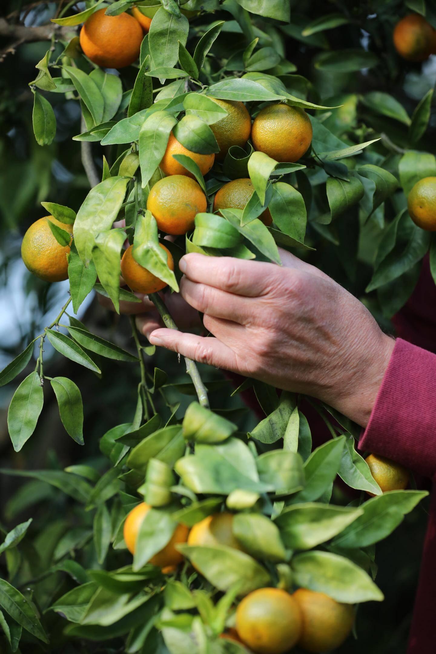 Clémentines cultivés à Hyères.
