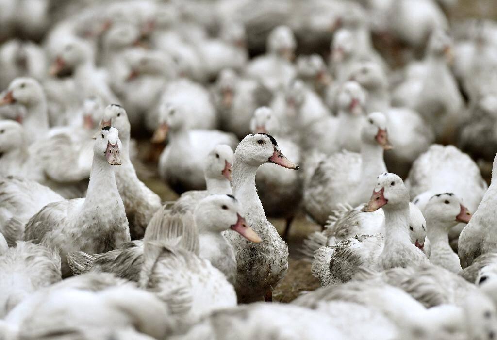 Des canards confinés dans une ferme de l'ouest de la France en février 2017 pour éviter une contamination par la grippe aviaire