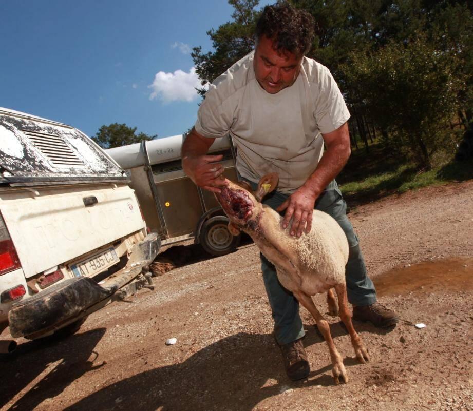 Quatre nouvelles brebis ont été tuées ce week-end par le loup. Trois autres gravement blessées ne devraient pas survivre à cette nouvelle attaque sur le plateau de Canjuers.(Photos Christophe Chavignaud)