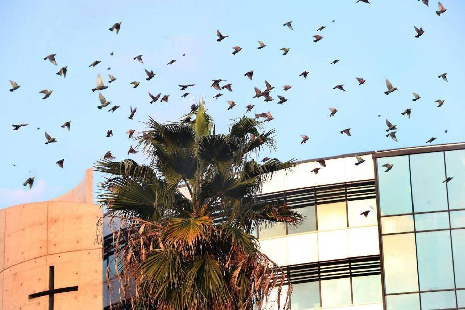 Comme chaque année à la même période, des nuées d'étourneaux évoluent dans le ciel niçois. Avant de repartir, vers la fin décembre.(Photo Richard Ray)