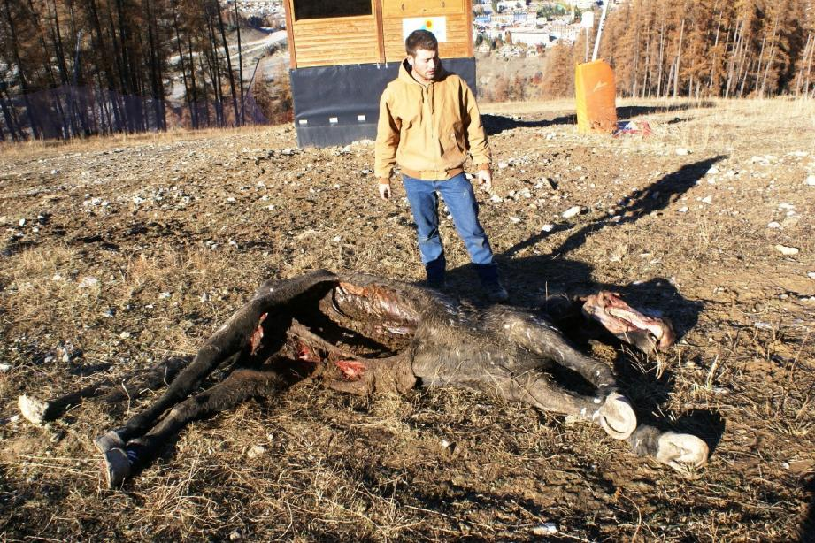 Thibaut, le fils de l'éleveur, écœuré, voit mal l'élevage et les loups cohabiter.
