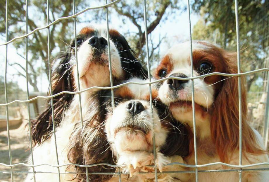 Si aucune infraction vétérinaire n'a été relevée, les enquêteurs doivent s'assurer qu'il n'y a pas eu tromperie sur l'origine de certains chiens ou maltraitance sur ceux-ci.