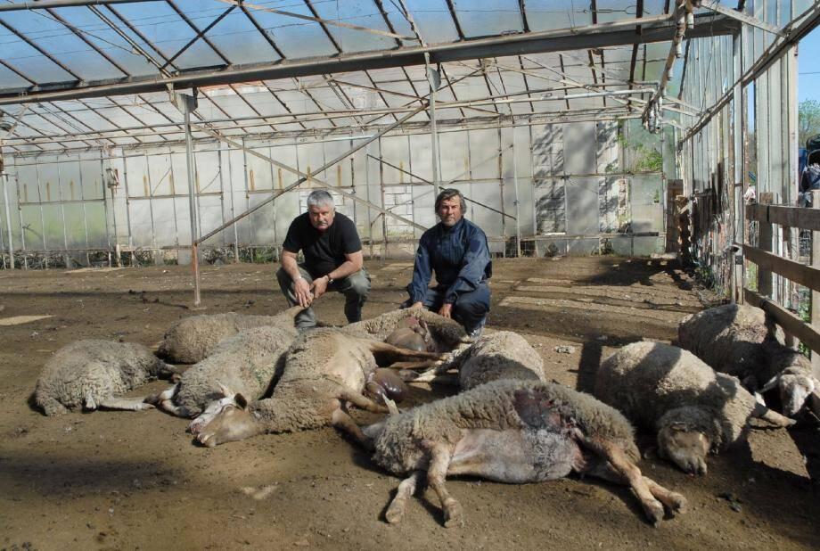 Des bêtes adultes atrocement déchiquetées au ventre. Dix-neuf ont trouvé la mort en une seule nuit.