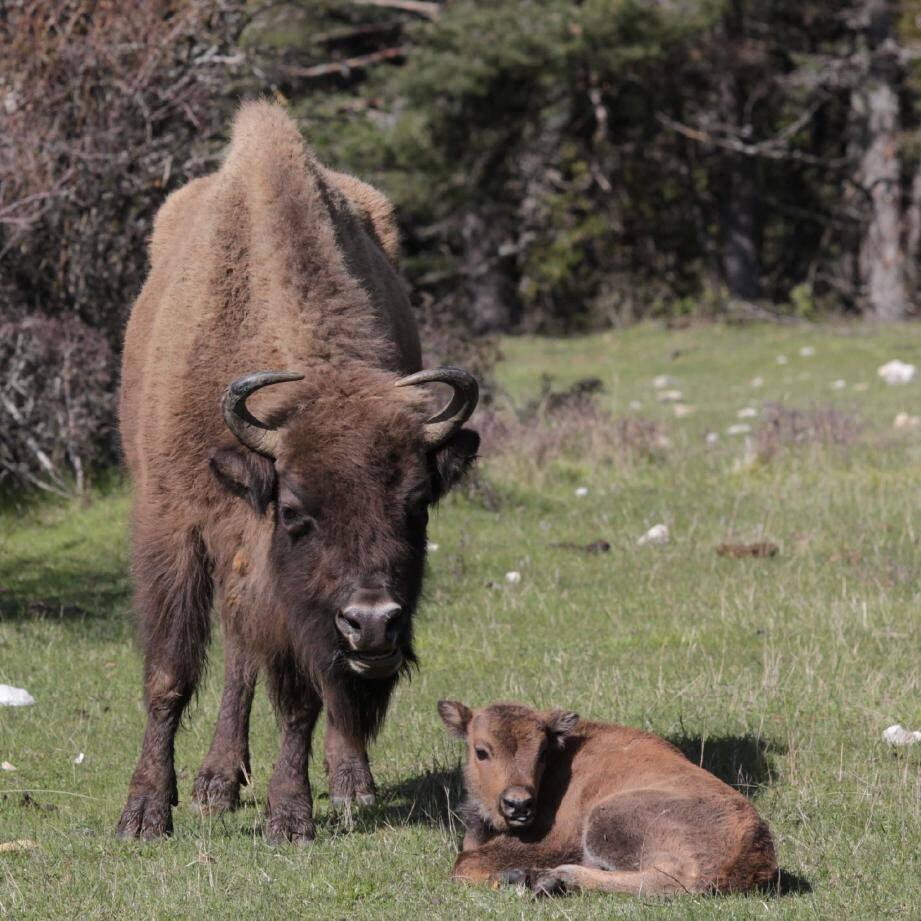 Avec ces trois nouvelles naissances, le cheptel compte désormais trente-six bêtes. La preuve que la réserve convient à merveille à ces ruminants imposants.