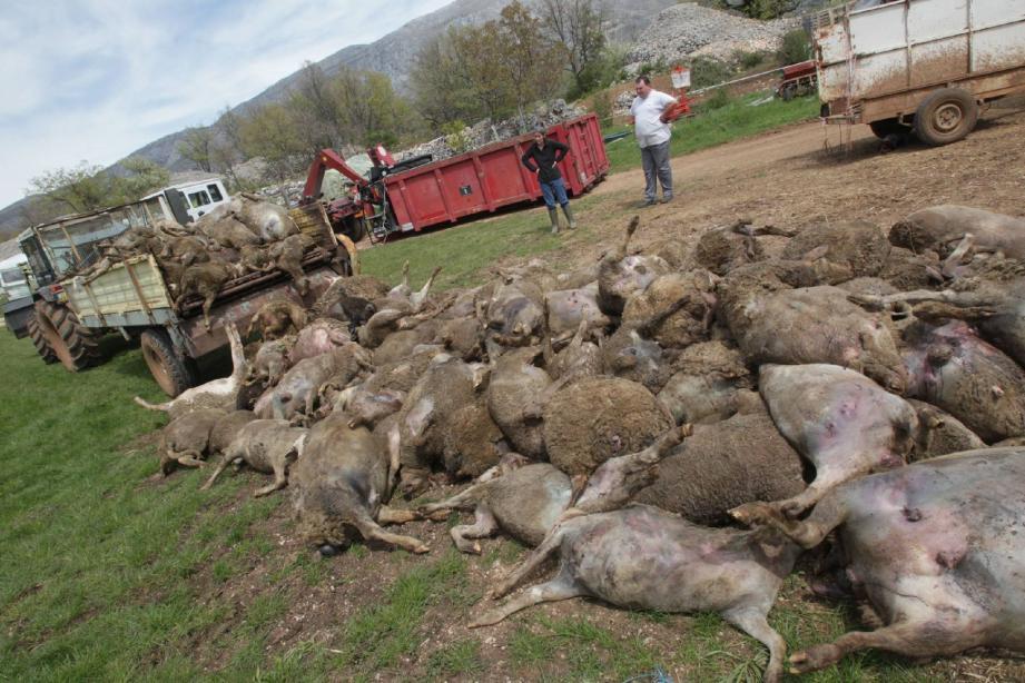 151 carcasses de brebis et d'agneaux attendent pour être chargées par l'équarrissage.