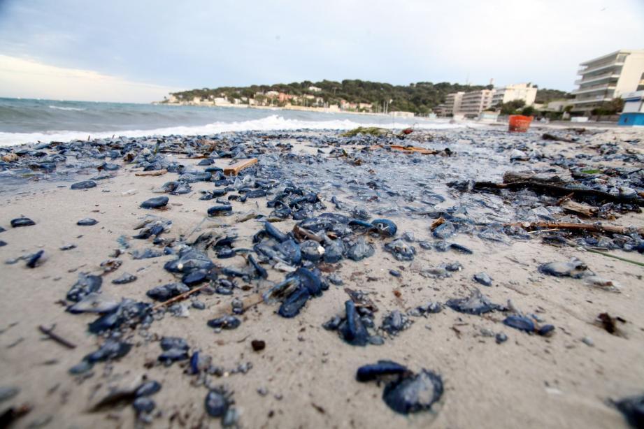 Des milliers de méduses bleues sont venues s'échouer sur les plages, comme ici, à la Salis.