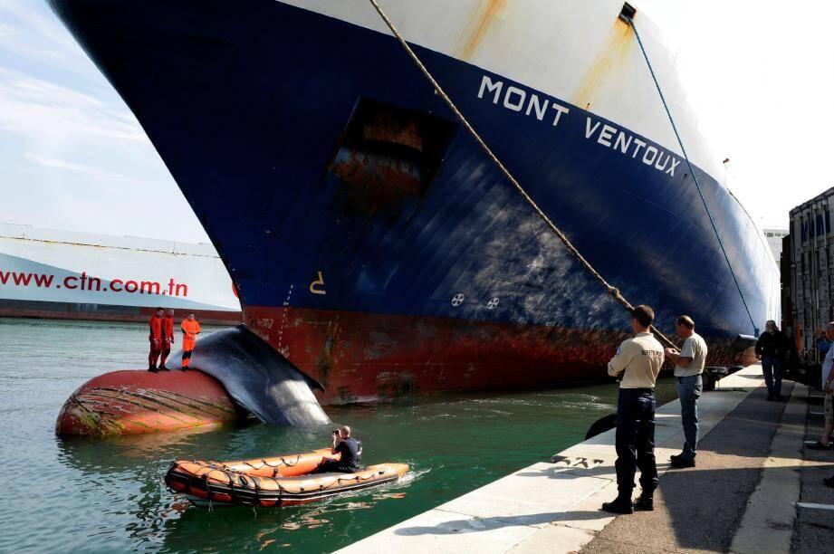 Selon les statistiques tenues par les scientifiques, 16 à 20 % des rorquals communs retrouvés morts en Méditerranée nord-occidentale ont été tués dans des collisions avec des navires de grande taille, comme ici le Mont-Ventoux , le 2 juin dernier, à Marseille.