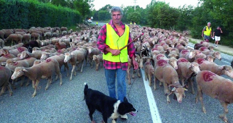 Francis Girard et le chien Bounas ouvrent la route au troupeau.