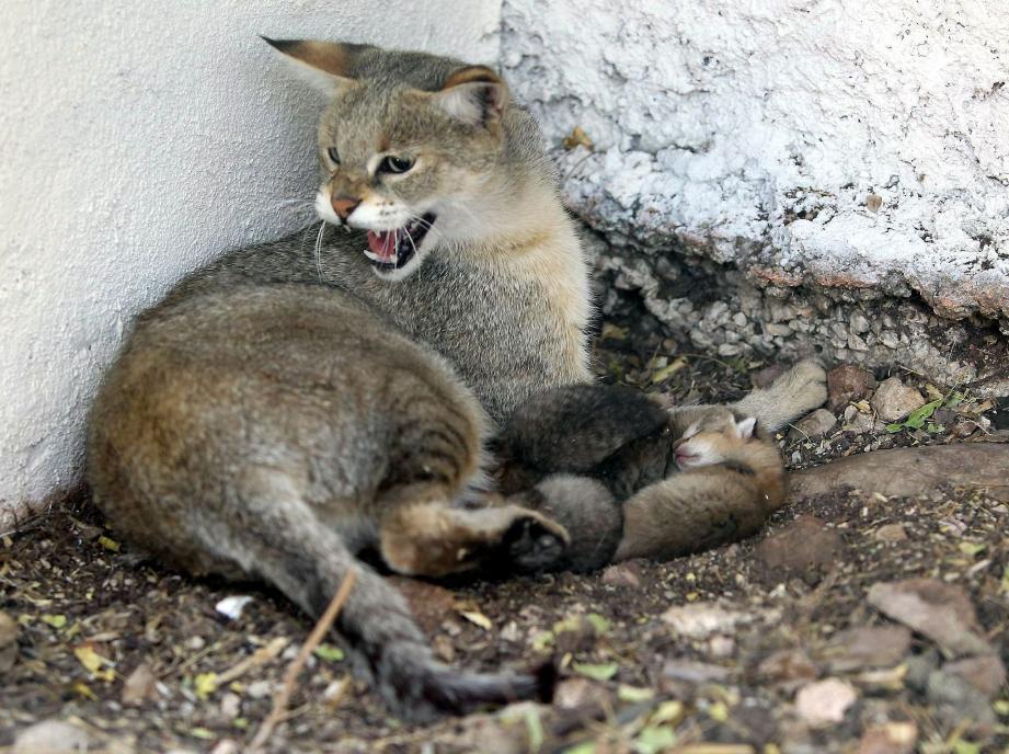 Quatre chats des marais sont nés dimanche dernier.